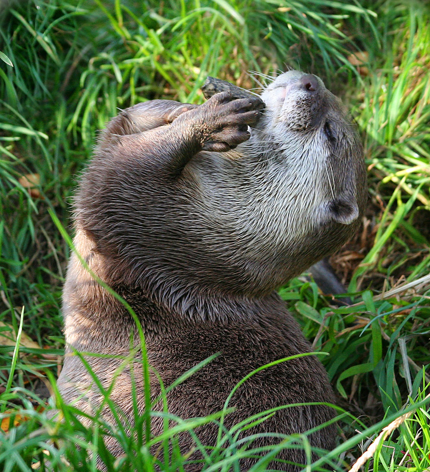Small-clawed otters weigh around 5kg each and have been seen on offshore islands such as Pulau Tekong and Pulau Ubin in recent decades.