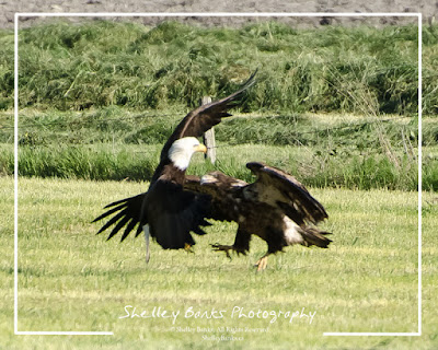 Juvenile and adult Bald Eagle  © Shelley Banks, All Rights Reserved.