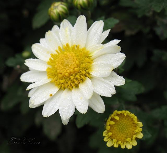 Бордюрная хризантема