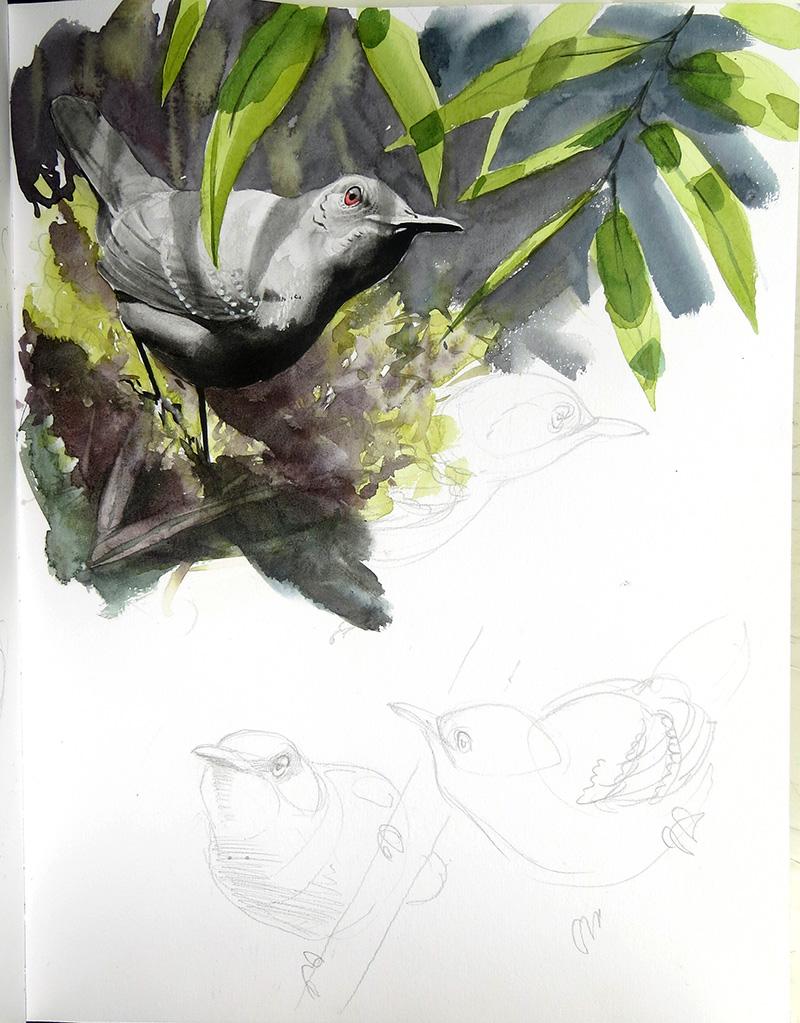 esmeraldas antbird, aquarelle