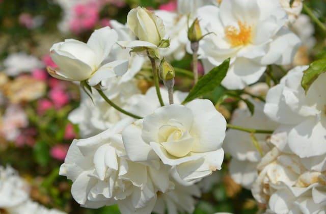 gambar bunga mawar putih yang menawan dan memukau