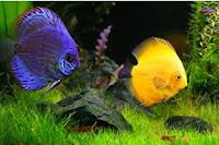 Sejarah Ikan Hias Discus ikan air tawar terindah