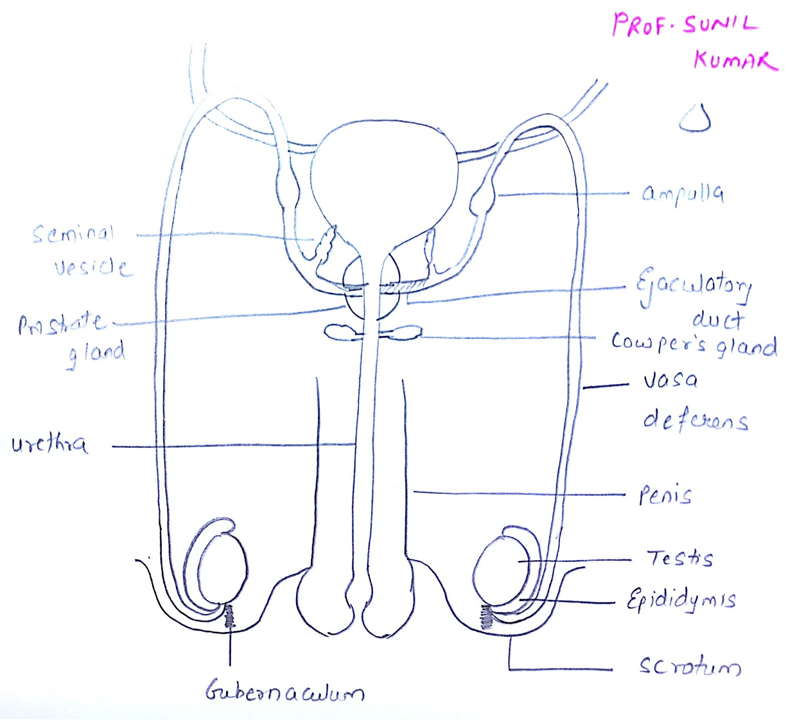 Prof Sunil Kumar S Addabiology Easy Way To Draw Male