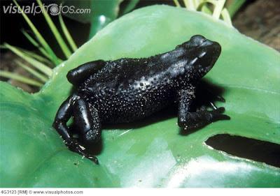anfibios extintos Sapo negro de los Andes Atelopus ignescens