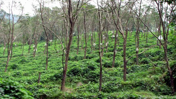 Kalli Valli Wayanad The Plantation History