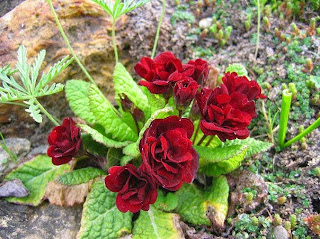 Primula 'Captain Blood' ,примула,комнатные цветы,домашние цветы,как подкормить примулу,Primula flowers,house plants,how to feed the primrose,Primel,Topfpflanzen,Blumen,wie düngen Primel,