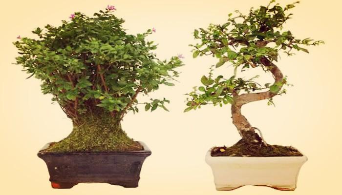 Significado de bonsai