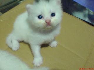 Gambar Kucing Flatnose
