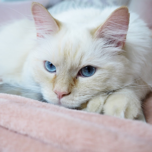 cute white cat with blue eyes photo