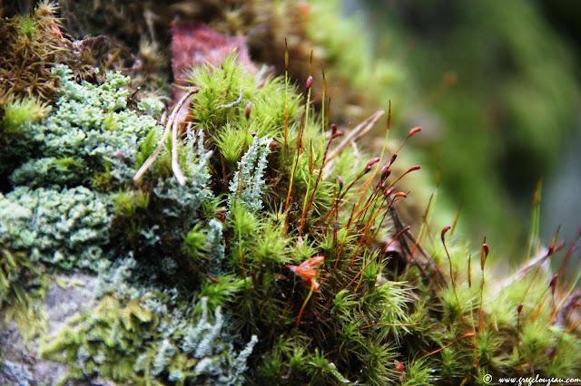 Lichens de genre Caldonia associés à des mousses en fructification, Forêt de Fontainebleau