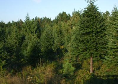 The perfect Nova Scotia Christmas trees shipped wholesale to you.