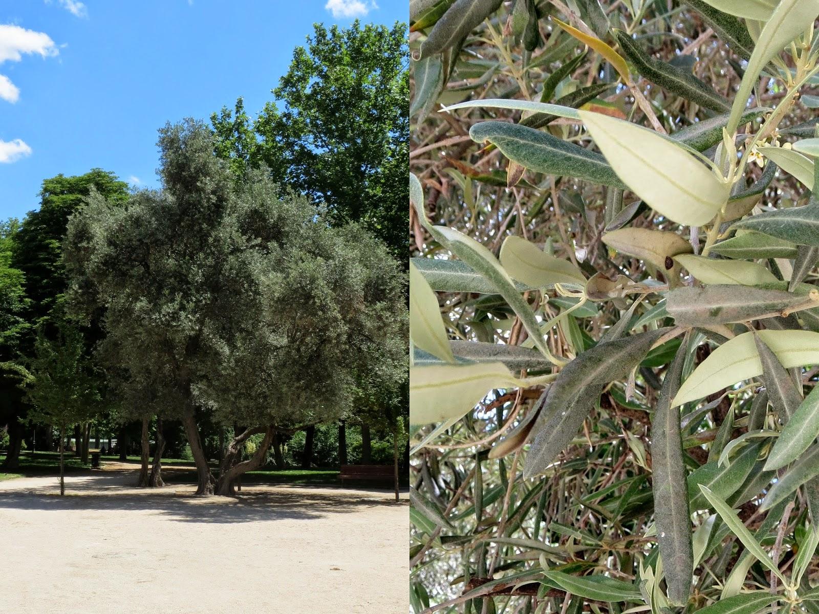 Parque del Retiro. Madrid. Olivo / Olive-tree