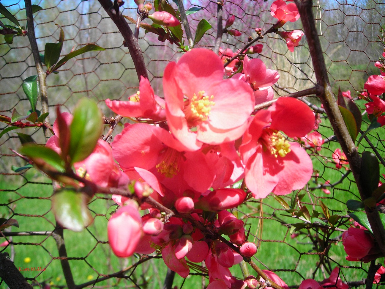 Gardening Granny S Gardening Pages Flowering Quince