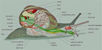 7 Ciri Ciri Kelas Gastropoda