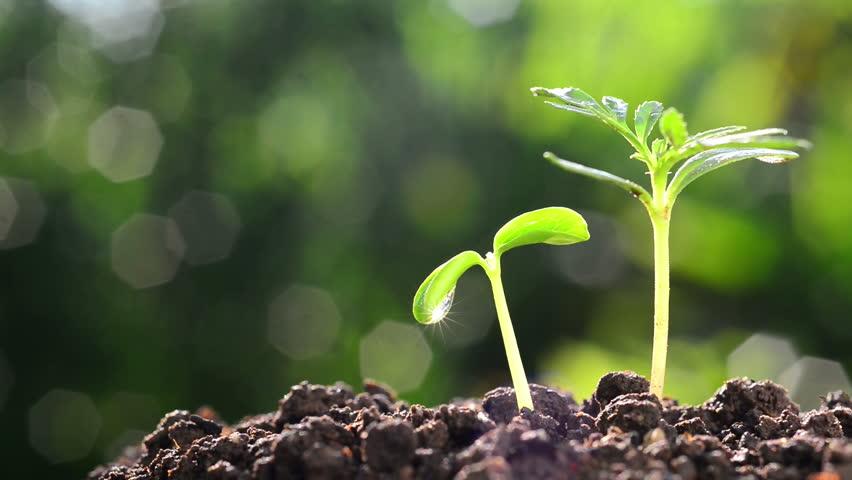 Perbedaan Epigeal Dan Hipogeal Pada Perkecambahan Tumbuhan Beserta Gambar Erincoodi