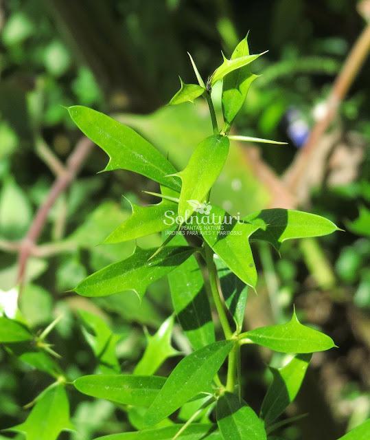 Berberis ruscifolia Espina amarilla