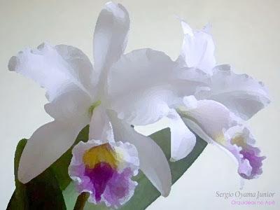 Orquídea Cattleya labiata caerulea
