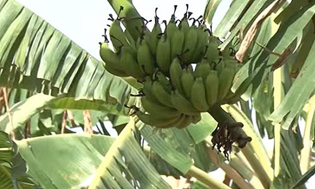 Banana (Musa x paradisiaca L.)