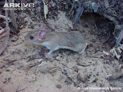 Rata espinosa atlántica de Yonenaga Trinomys yonenagae