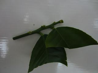Черенок для укоренения цитрусовых