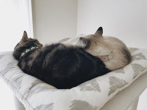 キジトラお姉のお尻を枕にしてる