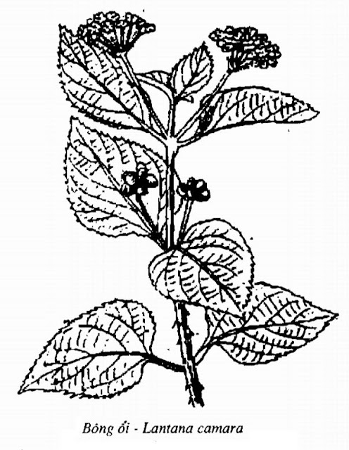 Hình vẽ Bông Ổi - Lantana camara - Nguyên liệu làm thuốc Đắp vết thương Rắn Rết cắn