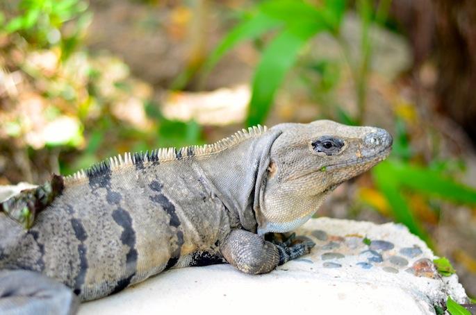 Iguana in Cozumel Mexico