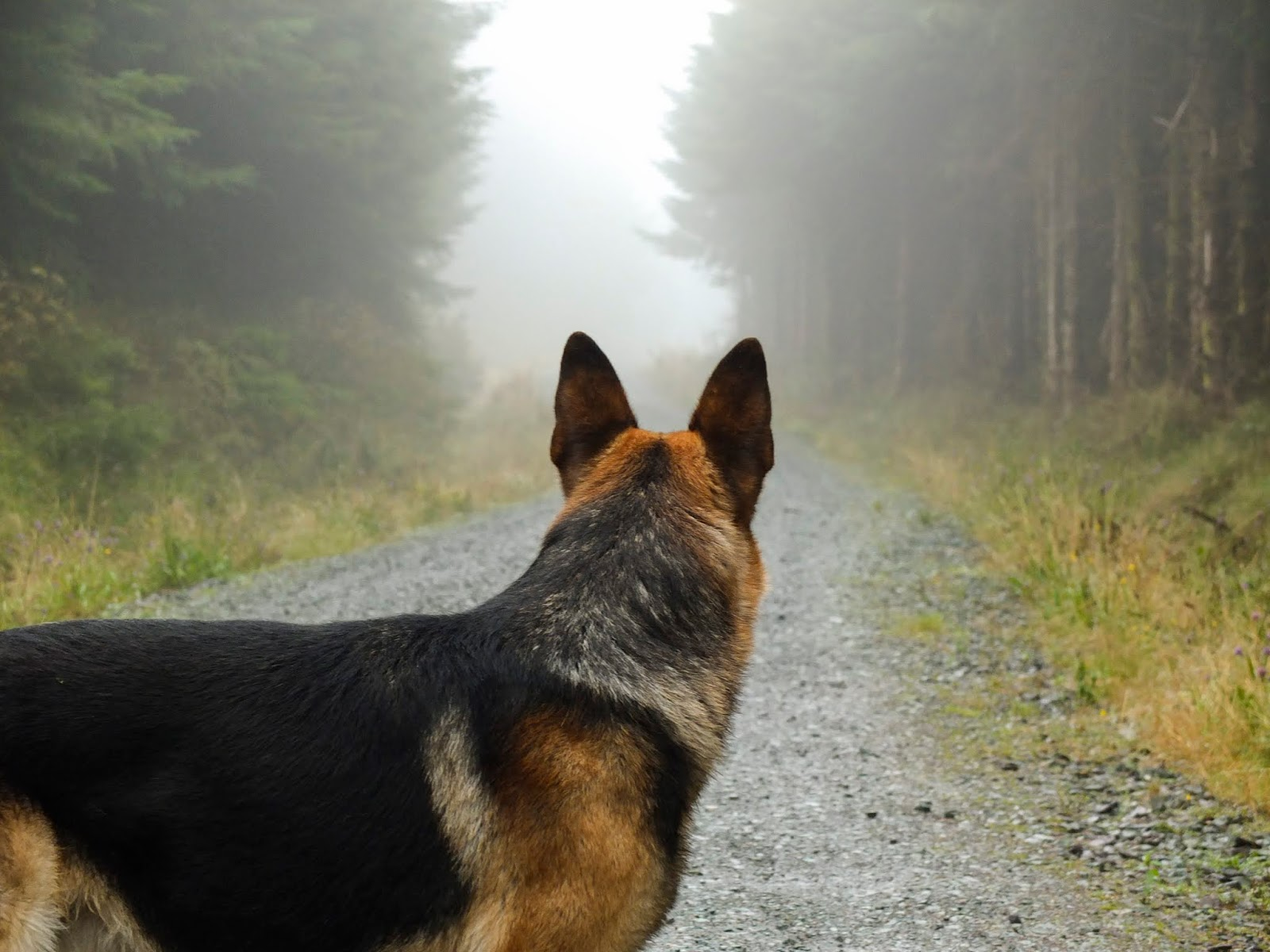 A German Shepherd standing in the middle of a misty and foggy tree lined forest path.