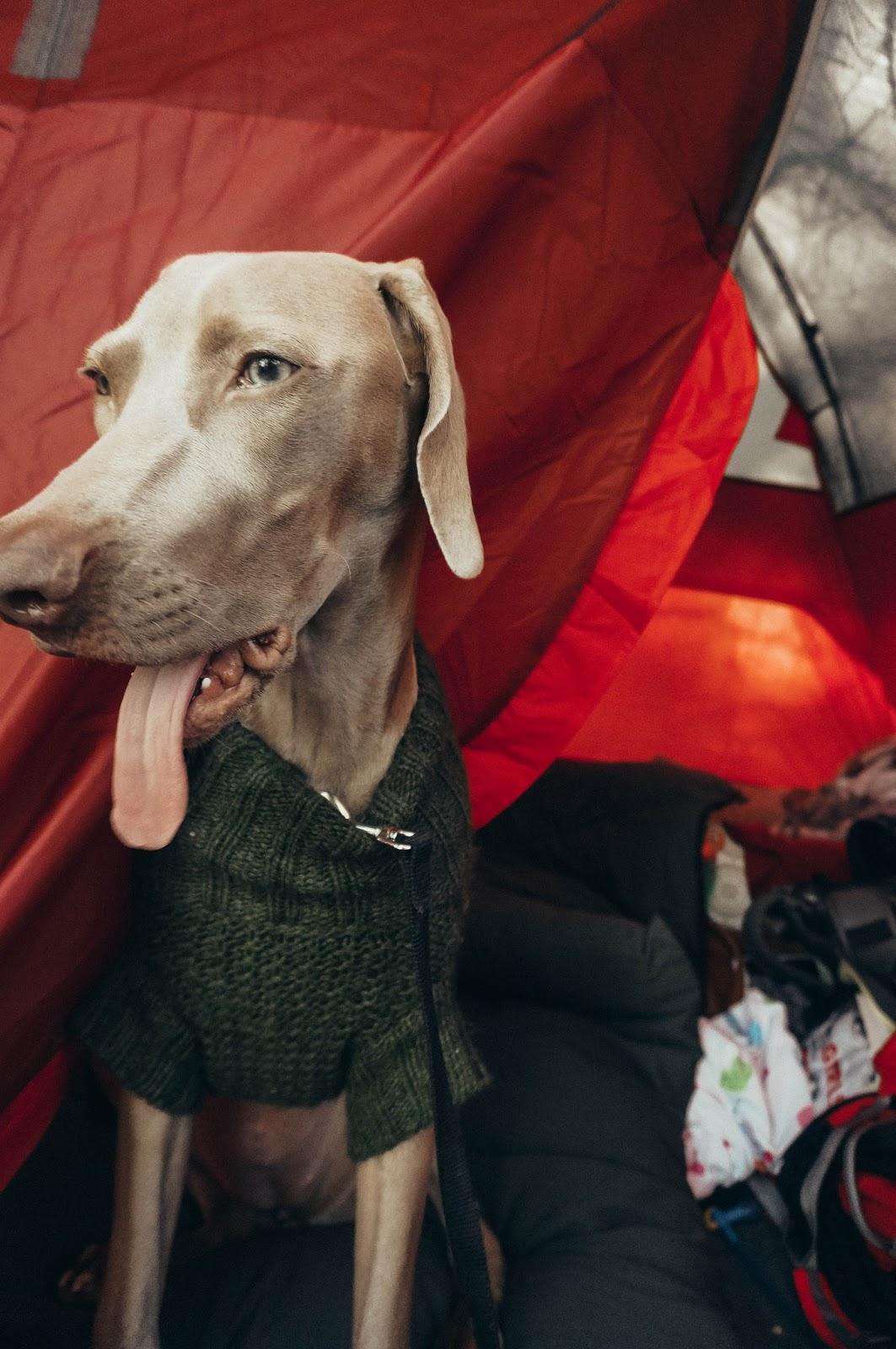 Camping Weimaraner