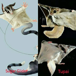 Jenis Jenis Sugar Glider di Indonesia dan Harga sugar glider