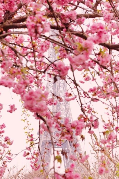 Paris, Spring, cherry blossom