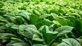 Manfaat daun tembakau