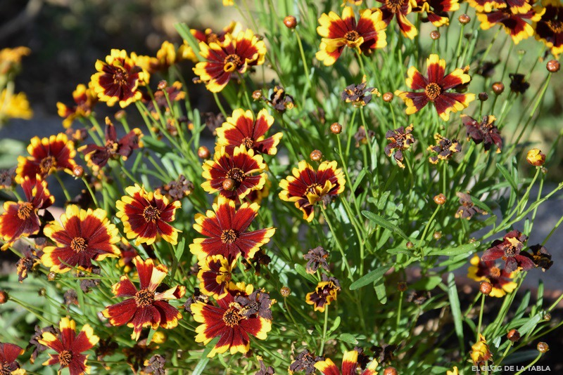 bicolor flowers yellow and red, salsa tickseed (coreopsis tinctoria 'salsa')