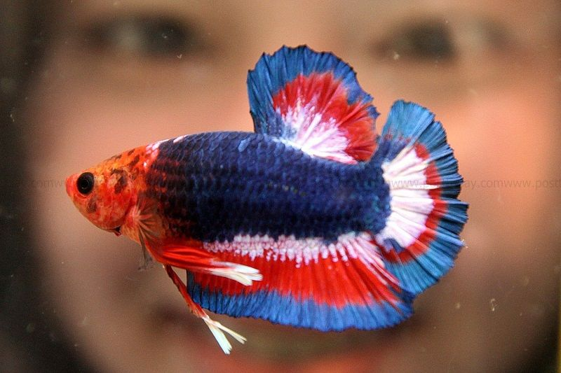 Betta Feeding Image