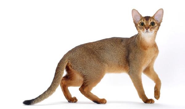 Kucing Abyssinian - Kunucats