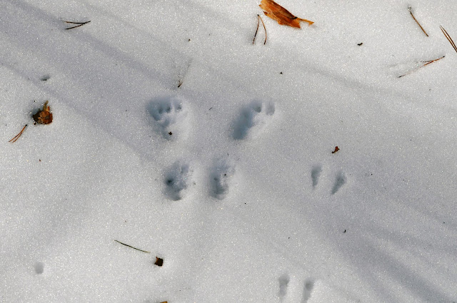 Следы белки на снегу