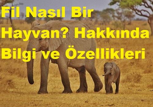 Fil Nasıl Bir Hayvan? Hakkında Bilgi ve Özellikleri