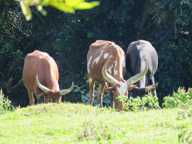Ankole cattle near Bigodi Wetlands in Uganda
