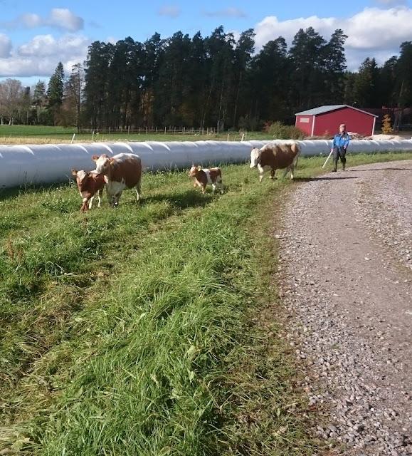 2 lehmää ja 2 vasikkaa