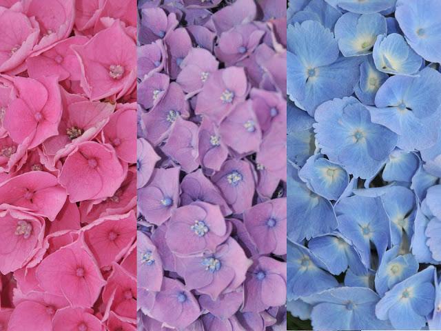 Opal Hydrangea pH blue pink lavender