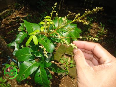 Mencegah Rontok Bunga Kelengkeng Saat Musim Hujan