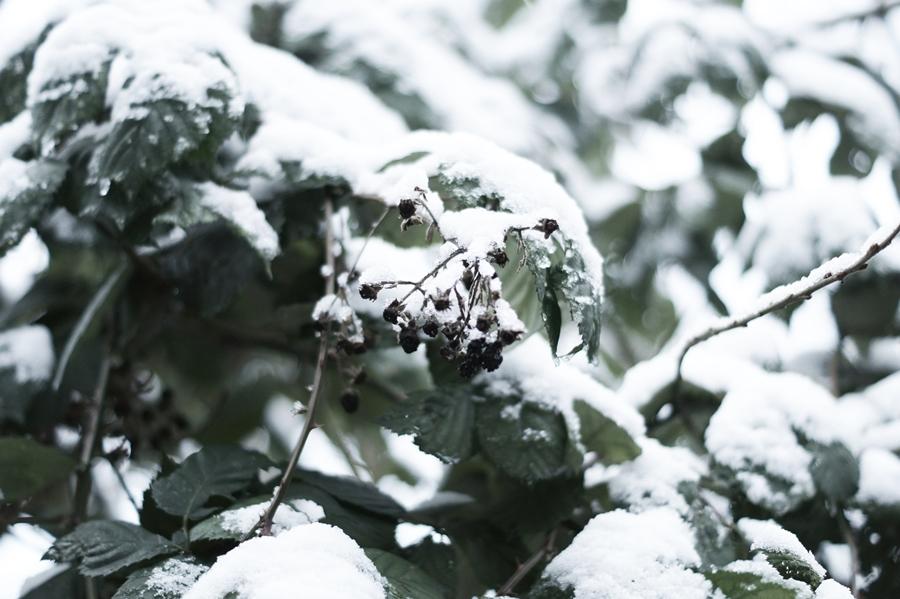 Blog + Fotografie by it's me! - Draussen - Frau Frieda sucht Schnee, verschneiter Brombeerzweig mit vertrockneten Früchten