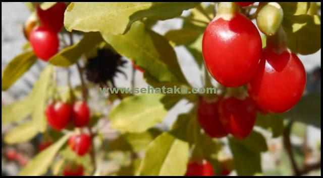 gambar buah goji beri