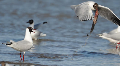 Brown hooded Gull