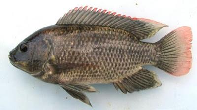 Beternak Ikan Mujair