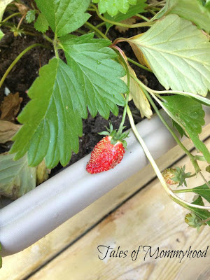 home grown strawberry