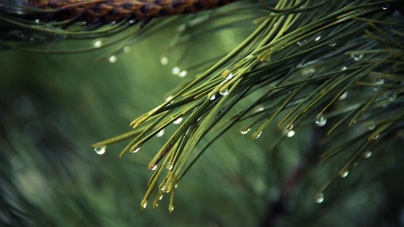 Pines Tree with Rain Drops