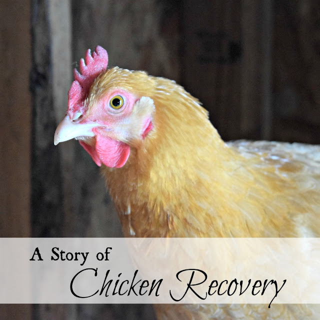 Buff orpington recovers from injury