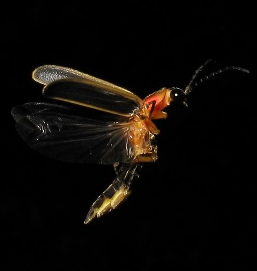 Picture of a firefly.