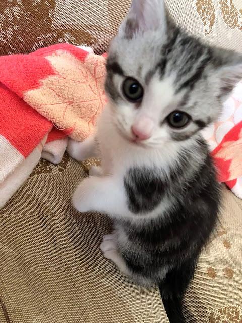 飼主を魅了する子猫の毛毛(MaoMao)